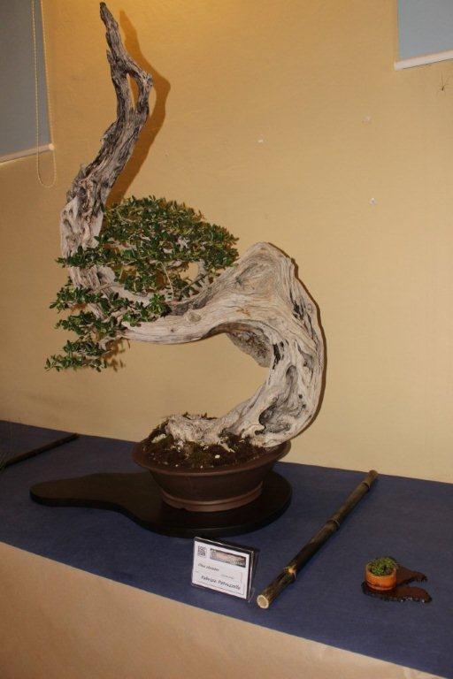 Mostra bonsai e suiseki a Roma. Img_6334