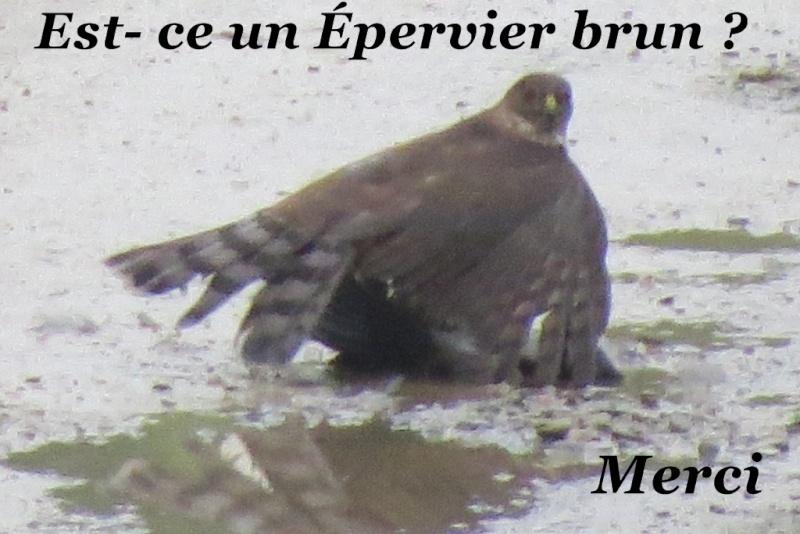 aide oiseau de proie Merci  Proie_14