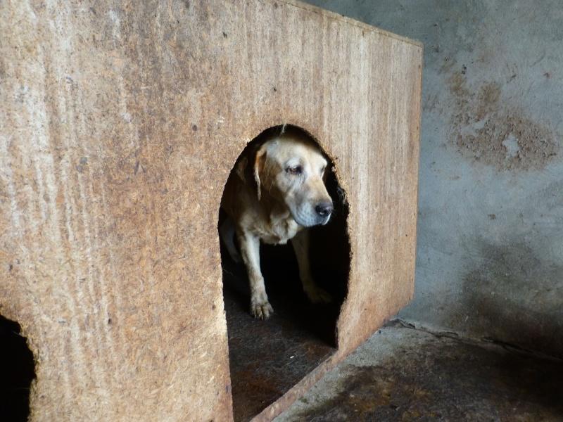 chien82 - CHIEN82, M-labrador, né ?, taille moyenne (Fourrière BACKA) - URGENT Labrad11