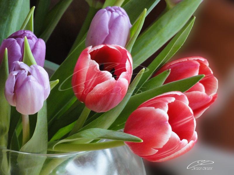 NOTRE PETIT PARADIS. Tulipe10