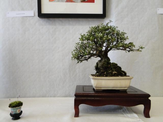le club émeraude bonsaï  expose le 6 et 7 juin Dsc07816
