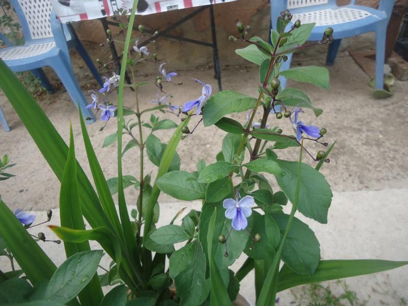 mon Clérodendron ougandais à fait ses premières fleurs - Page 4 Dsc05540