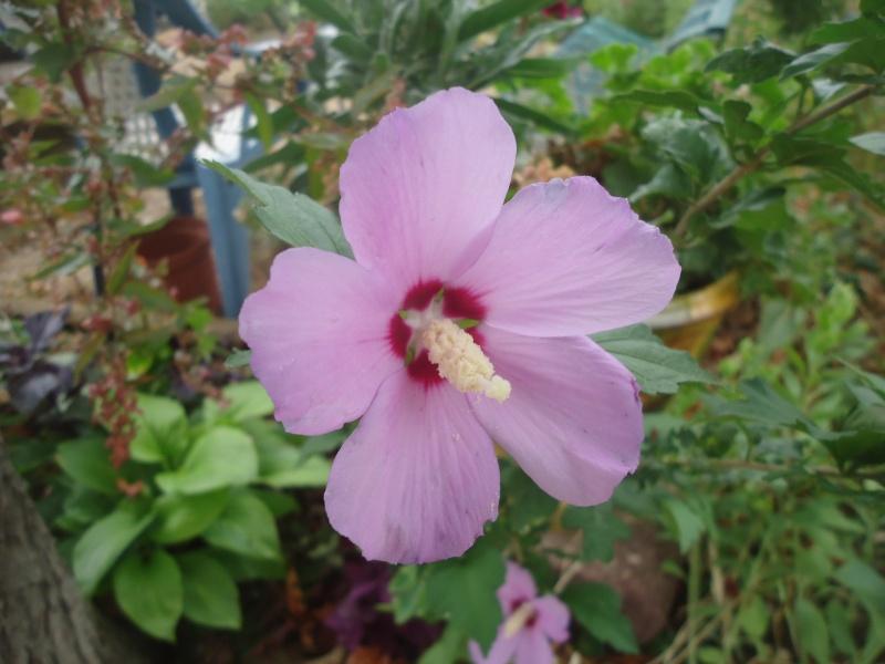 Hibiscus syriacus ou althéa  Dsc05818