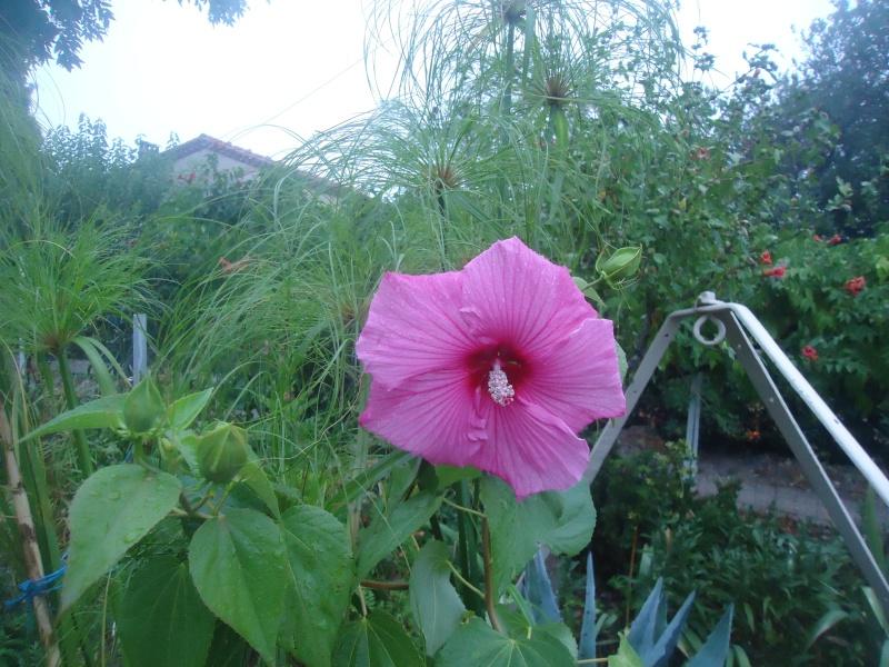 hibiscus a fleur géante:Hibiscus moscheutos cv disco - Page 12 Dsc06033