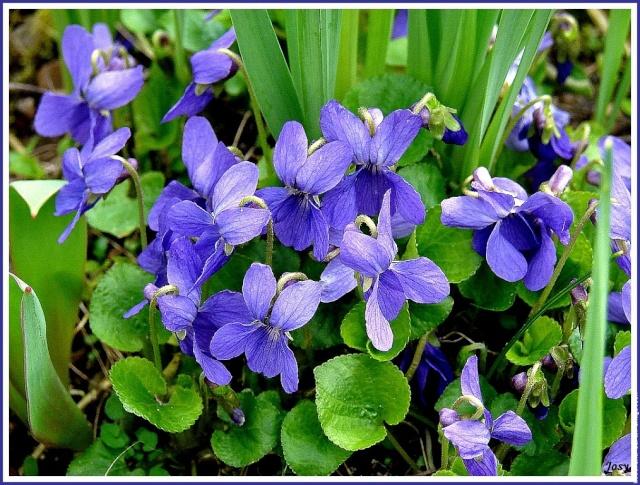Nos amies les fleurs (Symbolisme) 3-viol10