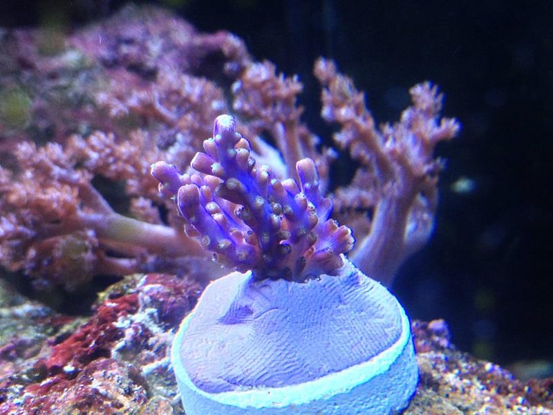 Reef de Gégé84 - Page 2 Acropo10