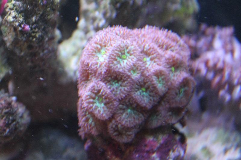 Reef de Gégé84 - Page 2 Blasto10