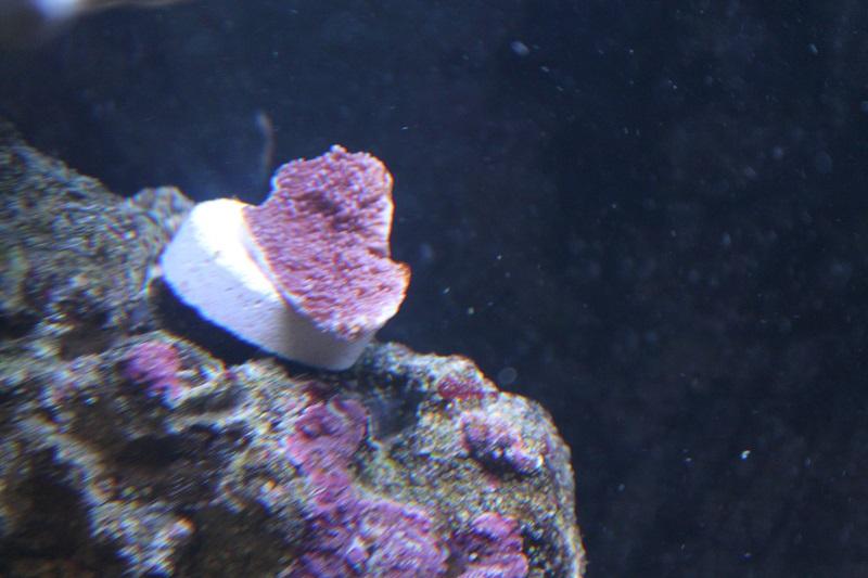 Reef de Gégé84 - Page 2 Montip13