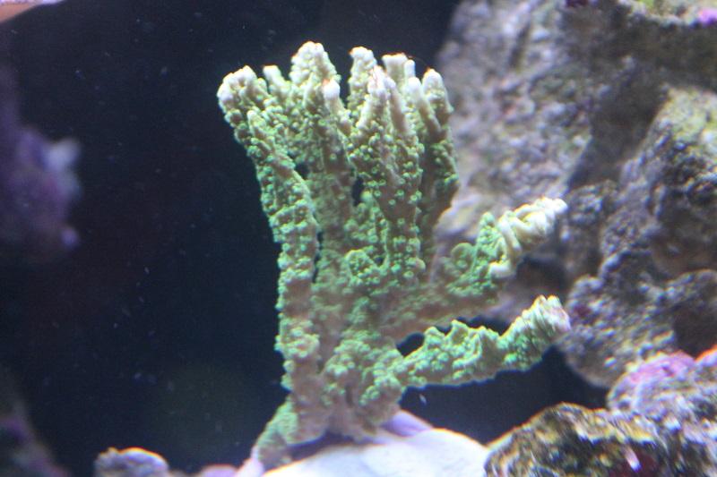 Reef de Gégé84 - Page 2 Montip15