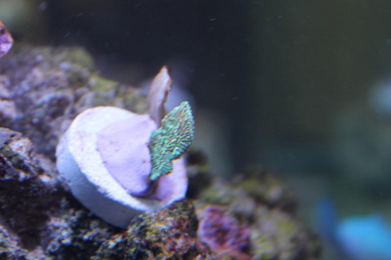 Reef de Gégé84 - Page 2 Pavona10