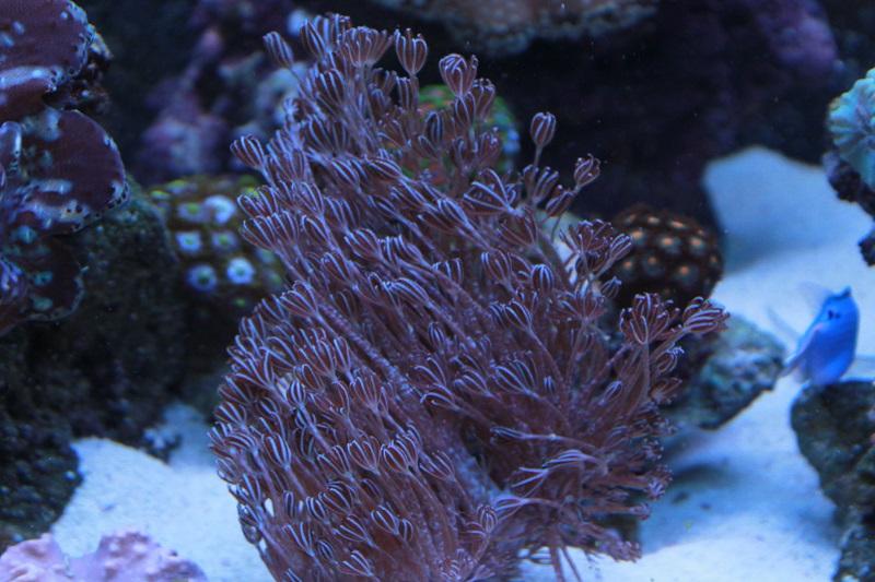 Reef de Gégé84 - Page 3 Xenia_13