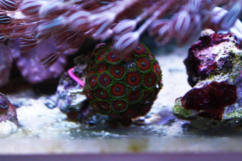 Reef de Gégé84 - Page 3 Zoanth18