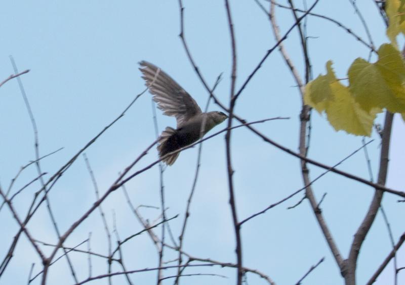 Hirondelle à ailes hérissées???? Hirond15