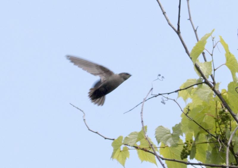 Hirondelle à ailes hérissées???? Hirond16