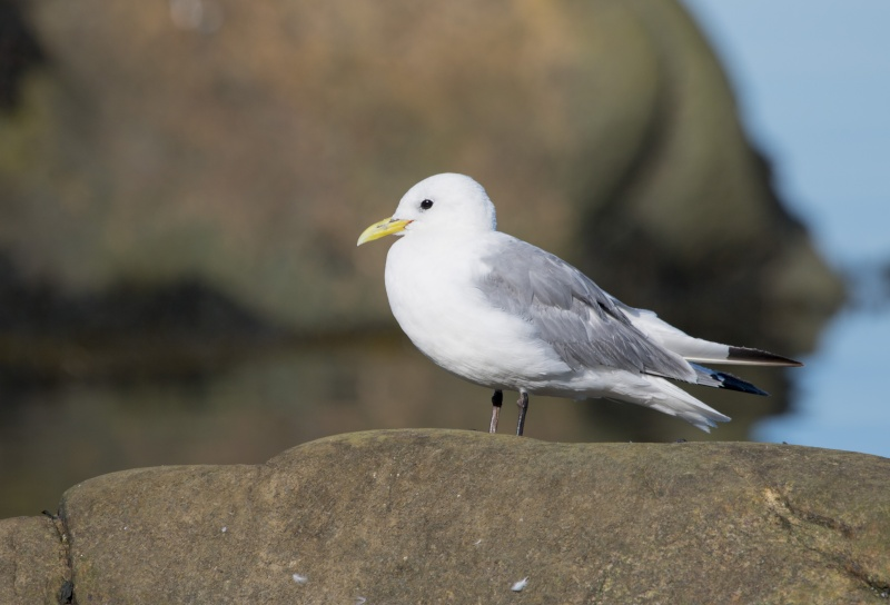 Mouette tridatyle Mouett12