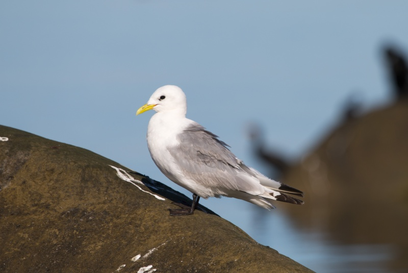 Mouette tridatyle Mouett13