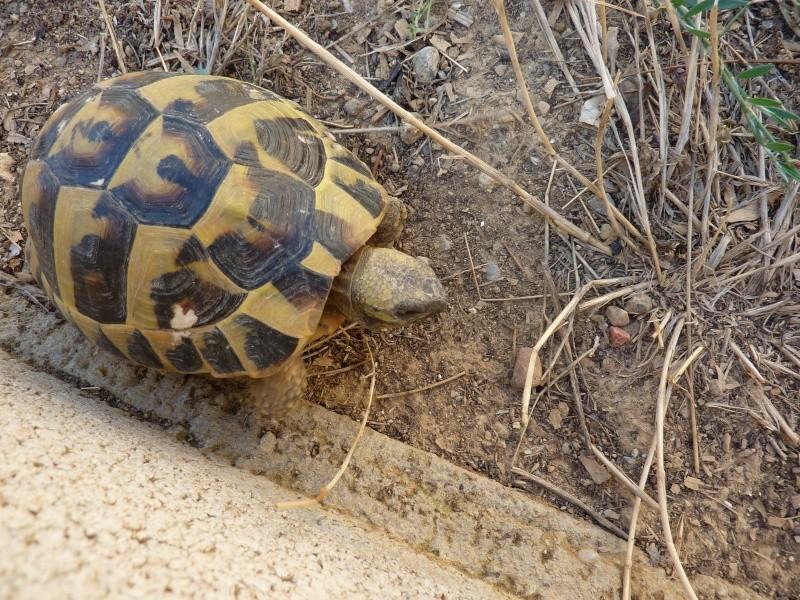 Nos deux tortues  P1050210