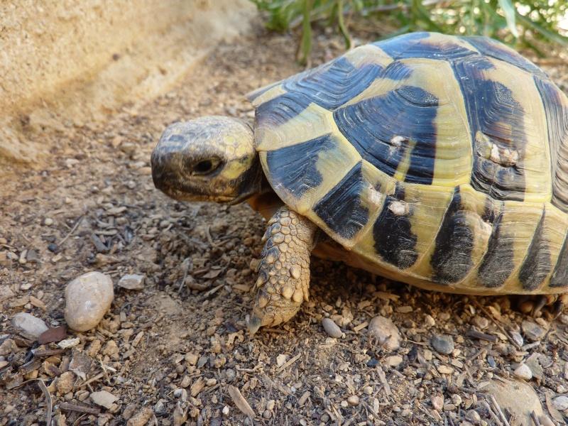 Nos deux tortues  P1050212
