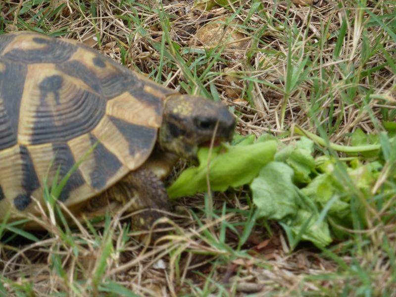 Nos deux tortues  P1050319