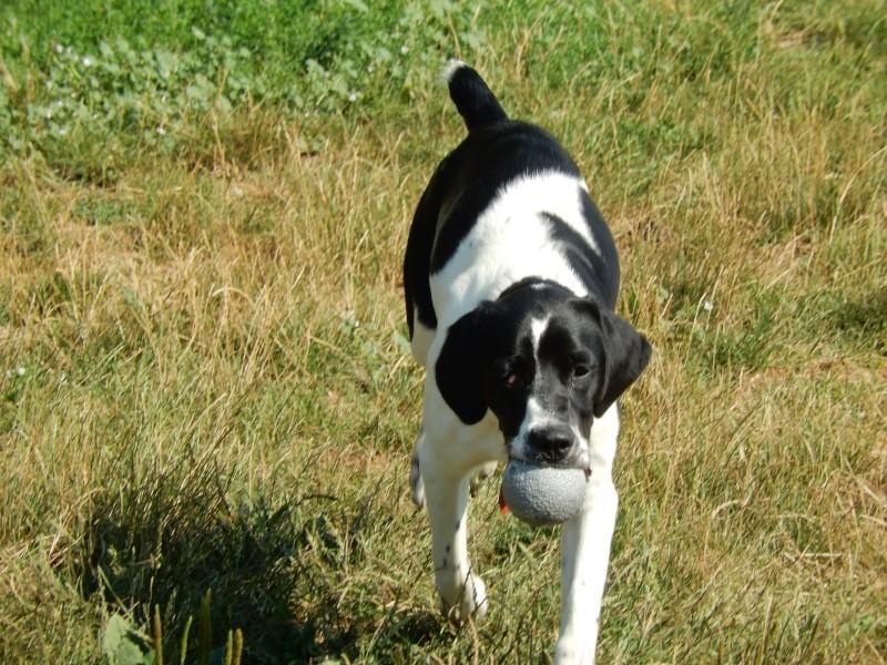 KINDER (mâle croisé pointer epagneul blanc et noir) Dscn7314