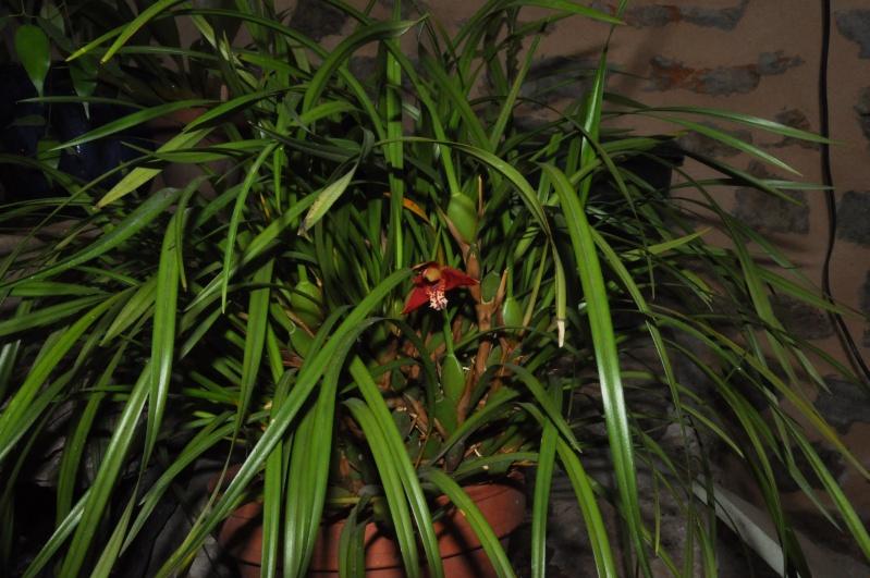maxillaria tenuifolia Dsc_4810