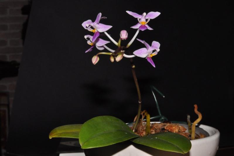Phalaenopsis equestris Dsc_4910