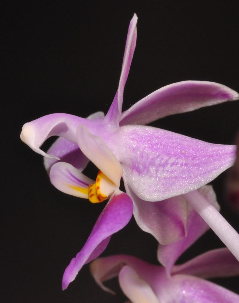 Phalaenopsis equestris Dsc_4912