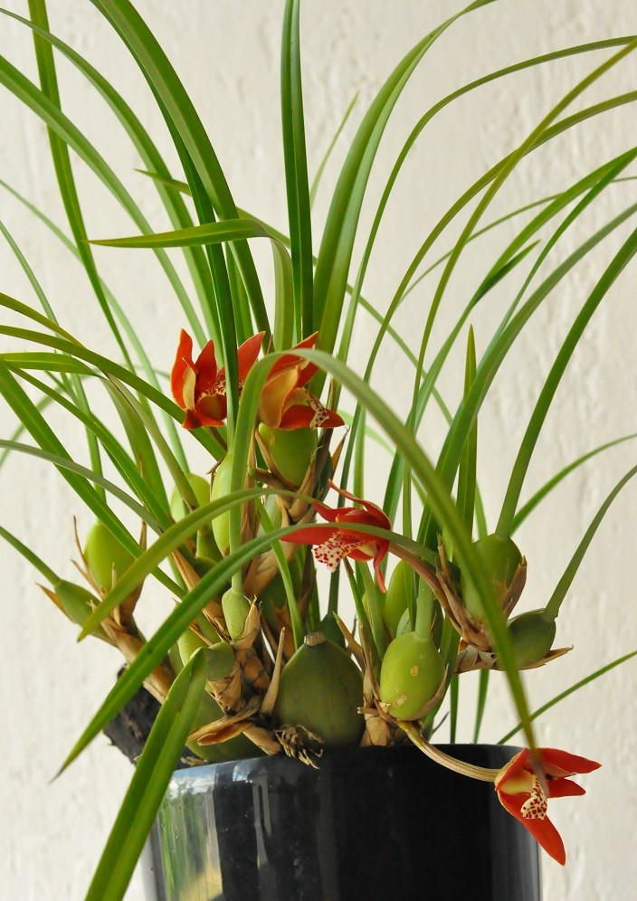 Maxillaria tenuifolia Maxill11