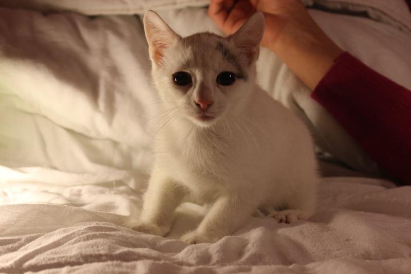 Liro - chaton blanc et tabby né le 15 Mai 2015 Img_1311