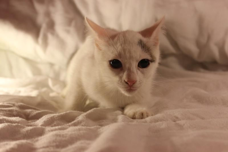 Liro - chaton blanc et tabby né le 15 Mai 2015 Img_1312