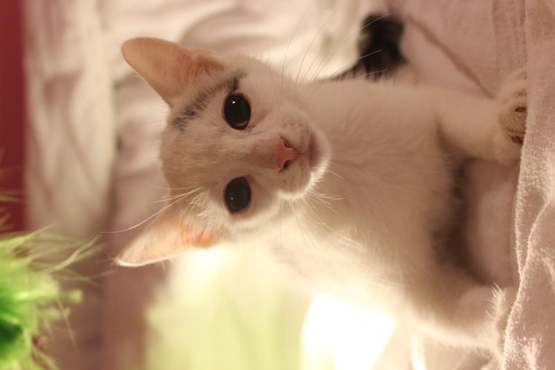 Liro - chaton blanc et tabby né le 15 Mai 2015 Img_1313