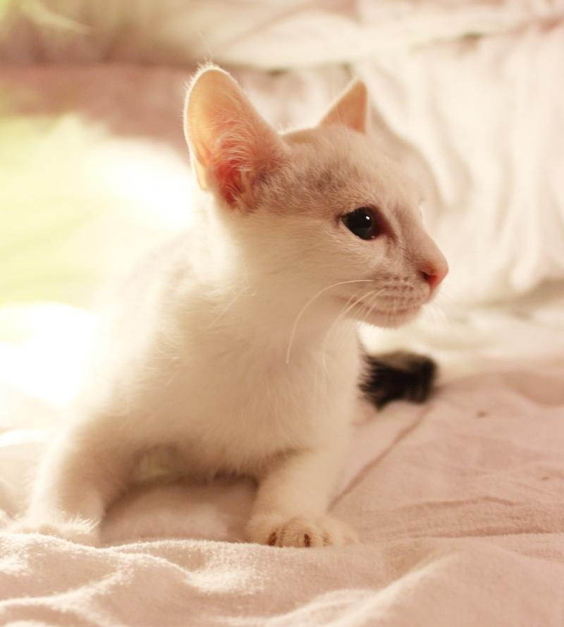 Liro - chaton blanc et tabby né le 15 Mai 2015 Img_1314