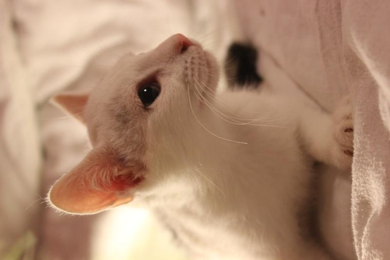 Liro - chaton blanc et tabby né le 15 Mai 2015 Img_1315