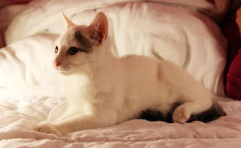 Liro - chaton blanc et tabby né le 15 Mai 2015 Img_1316