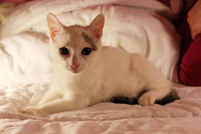 Liro - chaton blanc et tabby né le 15 Mai 2015 Img_1317