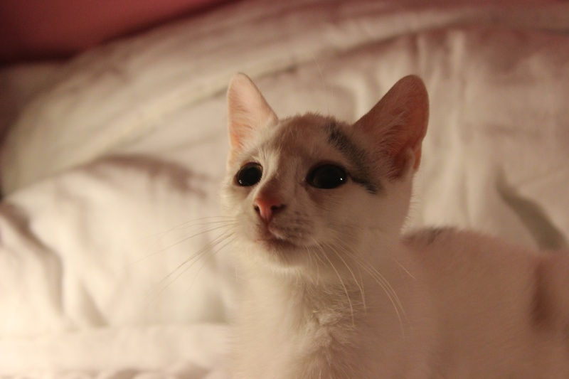 Liro - chaton blanc et tabby né le 15 Mai 2015 Img_1318