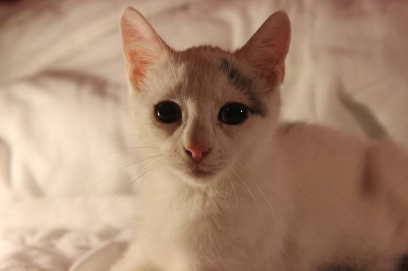 Liro - chaton blanc et tabby né le 15 Mai 2015 Img_1319