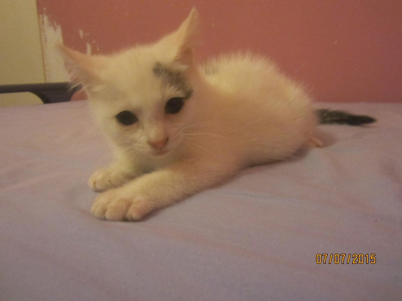 Liro - chaton blanc et tabby né le 15 Mai 2015 Img_3719