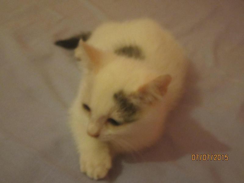 Liro - chaton blanc et tabby né le 15 Mai 2015 Img_3812