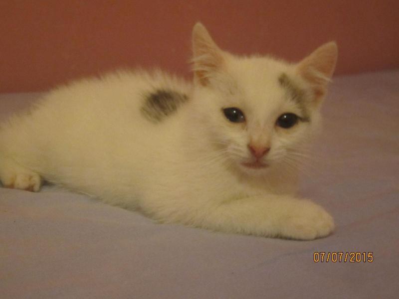 Liro - chaton blanc et tabby né le 15 Mai 2015 Img_3813