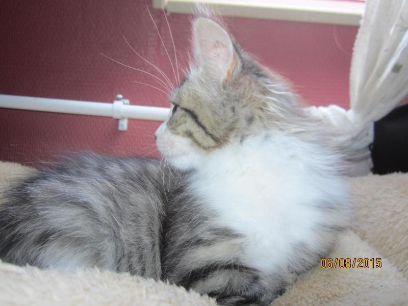 Largo - Chaton poils longs tabby et blanc né en Mai 2015 Img_4014