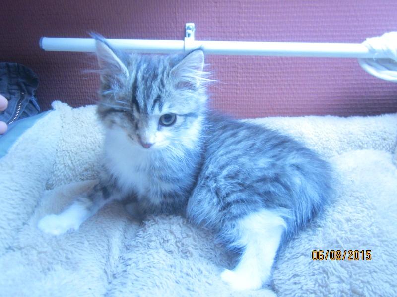 Largo - Chaton poils longs tabby et blanc né en Mai 2015 Img_4019