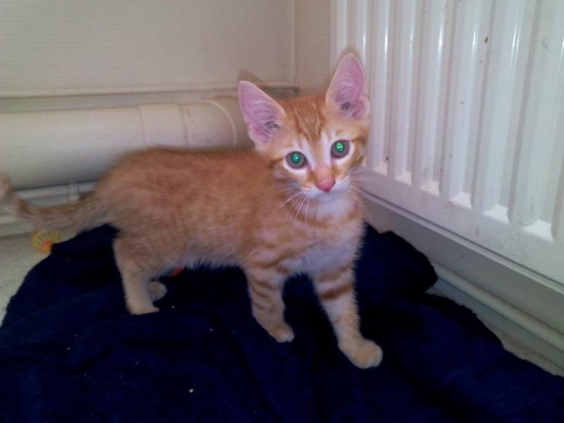 Leko (devenu Imothep) chaton roux né le 10 Avril 2015 Leko10