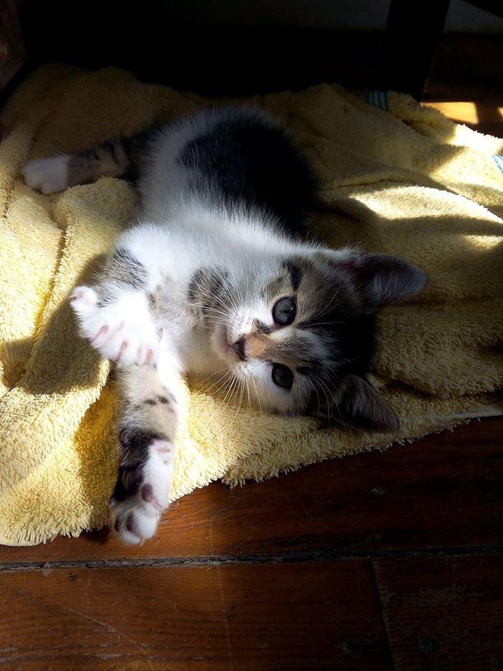 Lina - Chatonne tabby et blanche née le 13 Mai 2015 Lina10