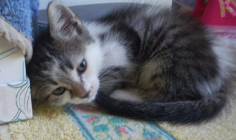 Lina - Chatonne tabby et blanche née le 13 Mai 2015 Lina_310