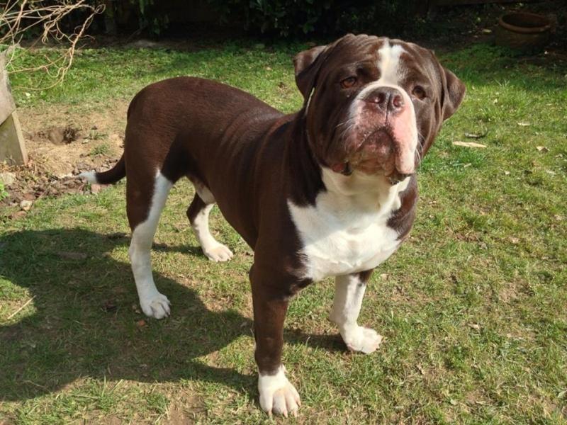 Bébés Alapaha Blue Blood Bulldog Type bully 11060810