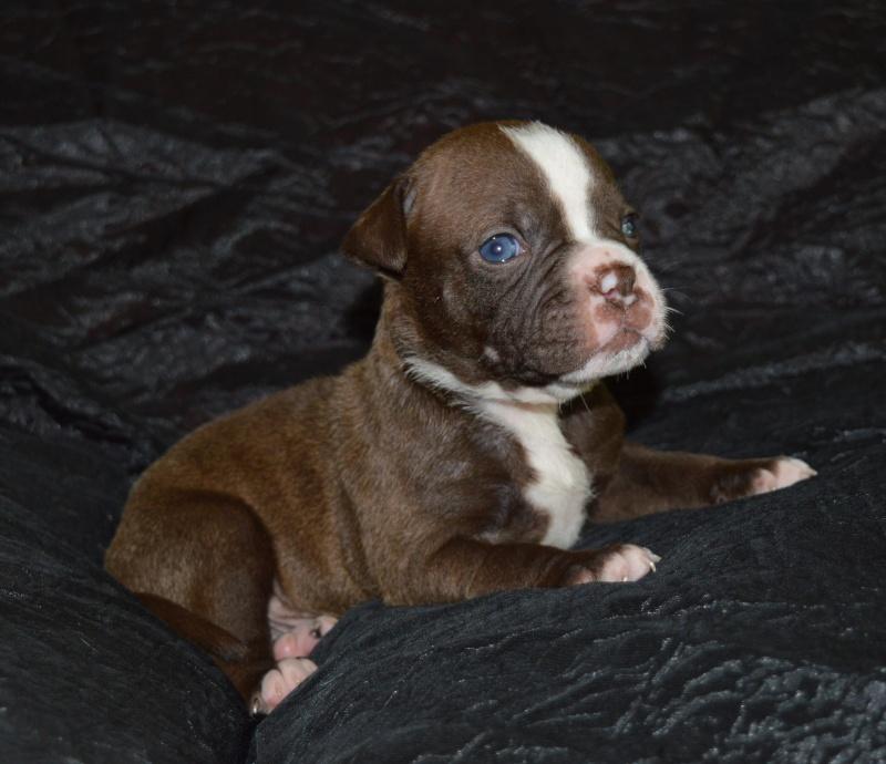 Bébés Alapaha Blue Blood Bulldog Type bully Dsc_0011