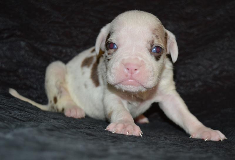 Bébés Alapaha Blue Blood Bulldog Type bully Dsc_0014