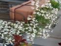 Pelargonium odorant anonyme P1100312