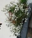Pelargonium odorant anonyme P1100313